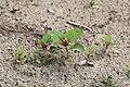 Kluse - Chenopodium giganteum - Magentaspreen 06 ies.jpg