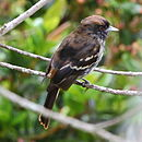 Knipolegus cyanirostris Blue-billed Black-Tyrant.JPG