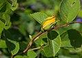 Knop Rosa 'Sunstar'. Locatie, Tuinen Mien Ruys in Dedemsvaart.jpg