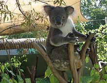 Mesmerizing Heritage Gardens In Australia  Wikipedia With Marvelous Koala Bear At Rockhampton Botanic Gardens With Divine Lumby Garden Centre Also Ft Garden Gate In Addition Killarney Gardens Cape Town And Amazon Garden Seats As Well As Hilton Garden Inn Frankfurt Airport Additionally Small Garden Ornaments From Enwikipediaorg With   Marvelous Heritage Gardens In Australia  Wikipedia With Divine Koala Bear At Rockhampton Botanic Gardens And Mesmerizing Lumby Garden Centre Also Ft Garden Gate In Addition Killarney Gardens Cape Town From Enwikipediaorg