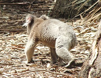 Koala - Walking on ground