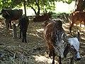 Kodinar, Gujarat - India (3417081981).jpg