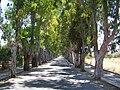 Kolymbia Eukalyptusallee.jpg