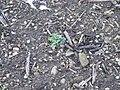 Korina 2011-01-01 Heracleum mantegazzianum 5.jpg