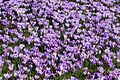 Krokusblüte in Drebach, Flächen-Naturdenkmal Krokuswiesen...IMG 0816BE.jpg