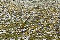Krokusy - wiosna nadchodzi... - panoramio.jpg