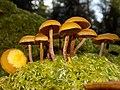 Kuehneromyces lignicola (Peck) Redhead 736562.jpg