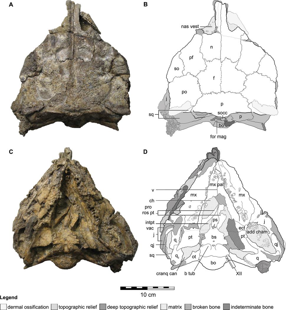 Kunbarrasaurus skull