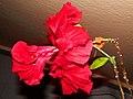 Kvet čínska ruža 19 Slovakia1.jpg
