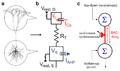 L5 pyramidal neuron and BAC firing.png