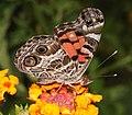 LADY, AMERICAN ( Vanessa virginiensis) (9-17-10) 78 circulo montana, pat lake ranch estates, scc, az -01 (4999876534).jpg