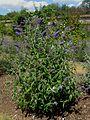 LS Buddleja davidii 'Shire Blue', plant.jpg