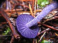 Laccaria amethystina Cooke 98454.jpg