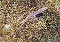 Lacerta bilineata Jungtier Orchi 2012-09-23 014.jpg