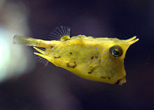A bright yellow boxfish swims with its pectoral fins only.