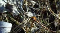 File:Ladybug among ants - 2013-4-18 - Alberta Canada.webm