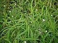 Lagascea mollis (4937669786).jpg