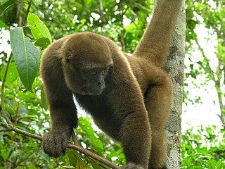 Woolly monkey genus of mammals