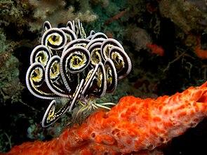 Lamprometra sp. auf einem Schwamm sitzend, mit eingerollten Fangarmen.