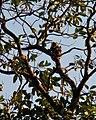 Langur Monkey (3873373700).jpg
