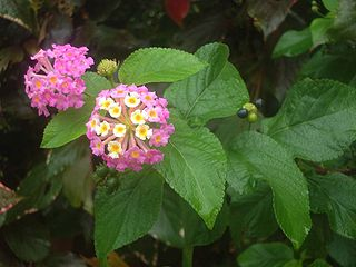 Lantana camara flower leaf fruit.jpg