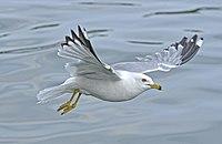 Larus delawarensis in flight Ontario.jpg