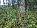 Las borówkowy - panoramio.jpg