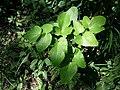 Laserpitium latifolium subsp. asperum sl31.jpg