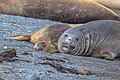 Last excursion of our trip, at Elephant point on Livingston Island.Elephant Seals (Mirounga leonina), I presume.a contented couple. (25895309472).jpg