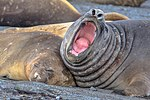 Last excursion of our trip, at Elephant point on Livingston Island.Elephant Seals (Mirounga leonina), I presume.now that's a yawn to remember. (26016106565).jpg