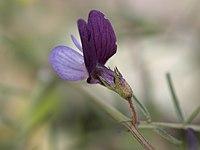 Lathyrus angulatus
