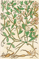 Lathyrus tuberosus - D. Kandel.png