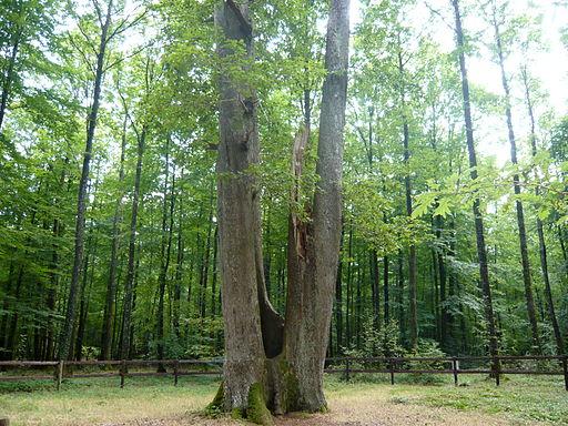 Le Chêne Fauteuil rond de Condé forêt de Senonches Eure-et-Loir (France).