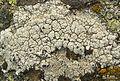 Lecanora rupicola plus Arthonia varians (parasite) - Flickr - pellaea.jpg