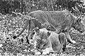 Leeuwen los in Burgers Dierenpark te Arnhem, Bestanddeelnr 921-3418.jpg