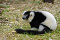 Lemur (25990380437).jpg