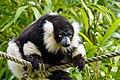 Lemur (27618582068).jpg
