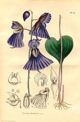 Utricularia humboldtii, Illustration