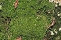 Lepidozia reptans (d, 144641-481258) 1693.JPG