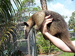 definition of anteater