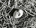 Lesser frigate-bird egg, Jarvis Island, circa 1961-1973. (5988083266).jpg