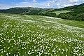 Leucanthemum vulgare kz04.jpg