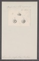 Leucochroa pressa - - Print - Iconographia Zoologica - Special Collections University of Amsterdam - UBAINV0274 091 04 0015.tif