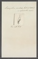 Leucophra candida - - Print - Iconographia Zoologica - Special Collections University of Amsterdam - UBAINV0274 113 16 0026.tif