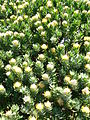 Leucospermum conocarpodendron - Table Mountain 12.JPG