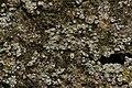 Lichen (35297297452).jpg