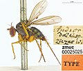 Lichtwardtia ziczac (10.3897-zookeys.798.28107) Figure 25.jpg