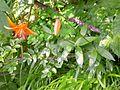 Lilium medeoloides.jpg