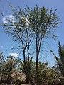Limonia acidissima in Vietnam.jpg