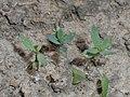 Linaria purpurea 2018-05-06 1545.jpg